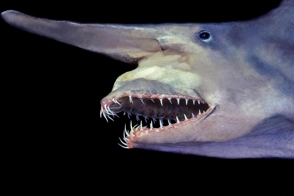 goblin-shark-jaw.ngsversion.1445013254494